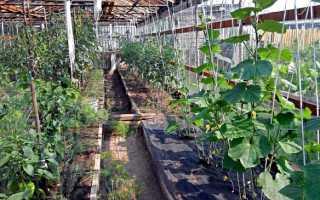 Огурцы и помидоры в одной теплице из поликарбоната: можно ли их садить и выращивать вместе в одном парнике и как правильно это делать