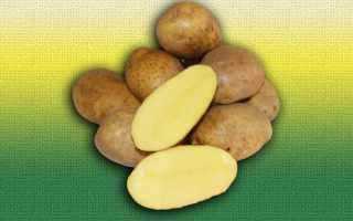 Картофель Бельмондо: описание сорта, фото, отзывы об урожайности и выращивании, а также характеристика вкусовых качеств