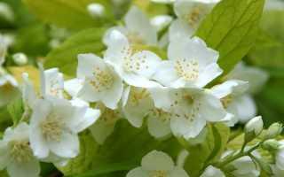 Жасмин садовый (чубушник): уход, посадка куста, сорта с фото и описанием