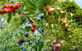 Как привить персик: оптимальные сроки для весны и лета, правила выбора сортов