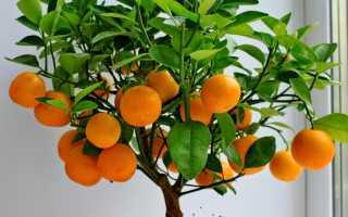 Мандарин из косточки в домашних условиях: выращивание мандаринового дерева в горшке дома, как посадить росток, будет ли плодоносить без прививки