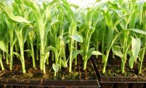 Инструкция, как замочить кукурузу для посадки: подготовка семян, их посадка, выращивание и уход в открытом грунте