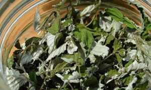 Когда собирать листья смородины и малины для сушки на зиму, как это сделать, как сушить фруктовые листочки и правильно их хранить