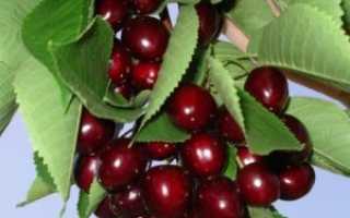 Вишня Мичуринская: описание сорта, морозостойкость, опылители, фото, отзывы