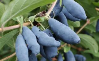 Жимолость съедобная: сорта в Беларуси, какие лучшие, особенности посадки и ухода, выращивания, полезные свойства ягод