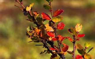 Береза карликовая: фото, внешний вид в тундре, описание, уход