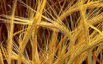 Пшеница и ячмень: разница, как отличить зерна , фото отличий, что лучше и тяжелее, это одно и тоже или нет