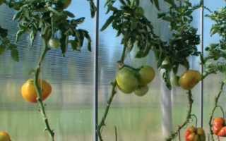 Томат Грейпфрут: описание сорта помидоров, фото кустов и плодов, отзывы дачников, характеристика розового подвида