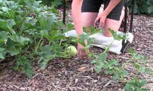 Сорта кустовой тыквы: выращивание и уход в открытом грунте, фото и описание ухода, как формировать и прищипывать