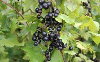 Чем удобрять смородину осенью после сбора урожая: виды удобрений