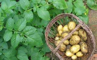 Лучшие ранние сорта картофеля: очень ранний, ранний и среднеранний