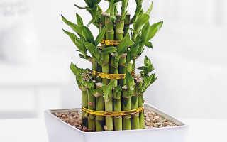 Комнатный бамбук: уход в домашних условиях, посадка и выращивание
