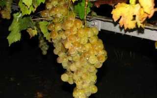 Сорта винограда для Крыма – винные и столовые сорта, особенности выращивания винограда на Крымском полуострове