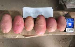Картофель Манифест: описание сорта, фото, отзывы о вкусовых качествах, сроках созревания и хранения, характеристика урожайности