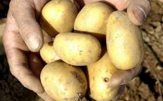 Картофель Уладар: описание сорта и характеристика, отзывы