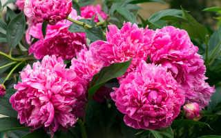Как сажать и выращивать пионы на открытом воздухе | Выращивание!