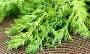 Чем подкормить укроп (плохо растет): какие удобрения нужны для хорошего урожая в открытом грунте и теплице, как и когда удобрить зелень