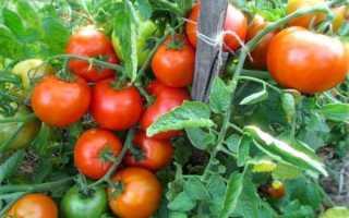 Томат Витязь: описание сорта помидоров, отзывы о них, преимущества и недостатки, гибридный сорт Русский витязь f1