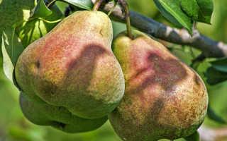 Елена груша: описание сорта, характеристика вкусовых качеств, отзывы садоводов о плюсах и минусах