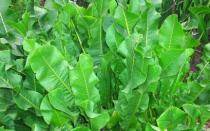 Выращивание хрена на огороде на даче: инструкция по посадке и уходу в открытом грунте, как размножается хрен