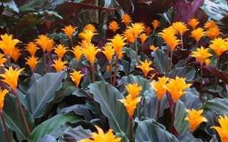 Калатея кроката (25 фото): уход за цветком в домашних условиях, пересадка калатеи шафрановой после покупки и размножения