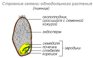 Каково строение семени фасоли: зародыша и особенностей корневой системы, фото и схема