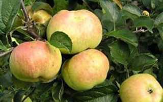 Сорт яблони Богатырь: описание и фото, особенности и характеристики, выращивание и уход; Интернет-портал о сельском хозяйстве