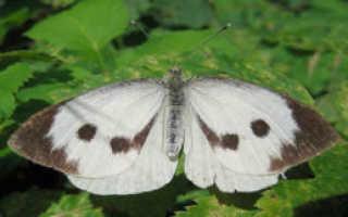 Капустная моль (Plutella maculipennis Curt), вред и методы борьбы