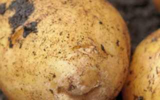 Картофель Аризона: описание, характеристика и вкус сорта, выращивание и уход, фото