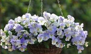 Выращивание фиалок на балконе и в саду: уход за фиалками | Цветок в доме