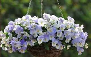 Выращивание фиалок на балконе и в саду: уход за фиалками   Цветок в доме