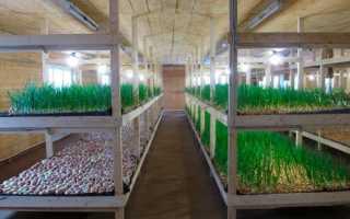 Выращивание зеленого лука в подвале: подготовка к посадке и дальнейший уход, как вырастить лук на зелень, какие условия необходимы