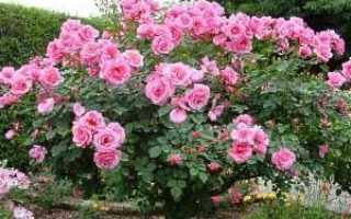 Посадка и роза уход – видео