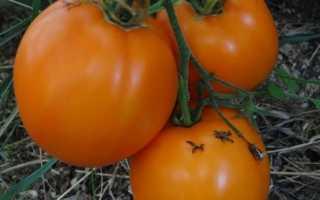 Томат Илья муромец: характеристика и оценка урожайности сорта, отзывы огородников со стажем и фото готового урожая