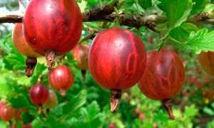 Размножение крыжовника отводками, делением и другими способами – как размножается крыжовник летом, весной и осенью