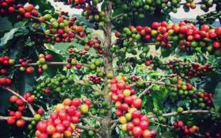 Кофейное дерево (140 фото): выращивание и уход в домашних условиях, пересадка, подкормка, как поливать, плоды