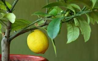 Лимон не цветет: что делать, как заставить плодоносить