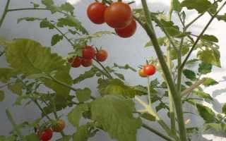 Томат пуговка: характеристика и описание сорта помидоров, его особенности и лайфхаки для высокой урожайности