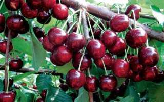 Черешня Ревна: описание сорта, отзывы садоводов, сорта-опылители, высота взрослого дерева, характеристики плодов