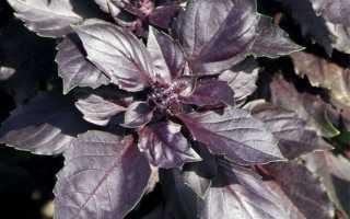 Базилик Карлик: отзывы тех, кто его выращивал, руководство по уходу за карликовым овощным базиликом, защита от болезней и вредителей