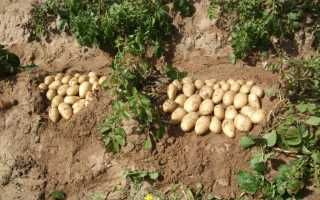 Картофель Луговской: описание сорта, фото, отзывы о вкусовых качествах и сроках хранения, характеристика урожайности, а также советы фермеров по выращиванию
