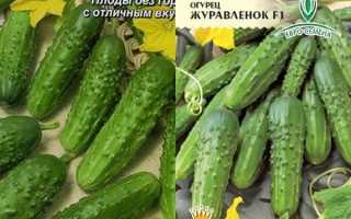 Огурец Журавленок: описание, отзывы, фото, посадка и уход, секреты агротехники от фермеров со стажем
