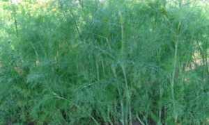 Белый налет на укропе: почему белеет зелень, что за болезнь мучнистая роса, как с ней бороться на грядке и в теплице, что делать, чтобы её предотвратить