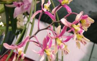 Энциклика орхидей: уход в домашних условиях, виды, пересадка и размножение