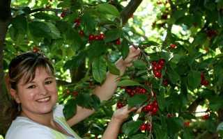 Устройство для сбора вишни: Устройство для сбора вишни с высокого дерева