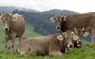 Порода коров Швиц коричневый: характеристика, описание крупного рогатого скота, преимущества и недостатки телок, быков – фото телят, удой крупного рогатого скота Швицко