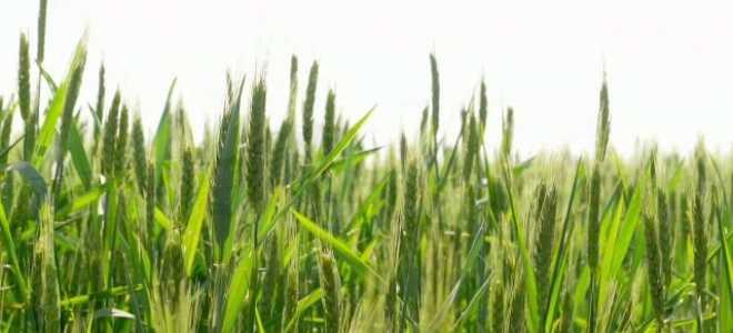 Озимый ячмень: норма высева на 1 га, отличие от ярового, семеноводство и период вегетации, при какой температуре проводить внесение минеральных удобрений, посев