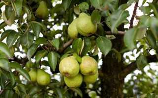 Почему груша росоша так популярна у российских садоводов
