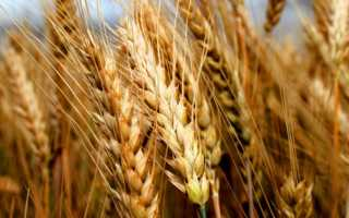 Пшеница Безостая 100: характеристика озимого сорта, ботаническое описание, особенности агротехники и урожайность