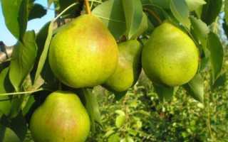 Самоплодные сорта груши для Подмосковья – ранние, зимние, низкорослые и самые вкусные сорта для региона
